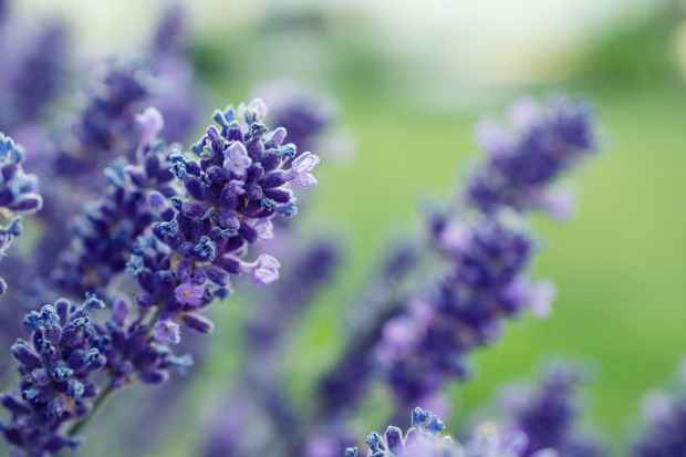 selective focus photography of purple lavender flower